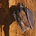 Pipistrelli in Grotta Regina / Kraljica Krasa